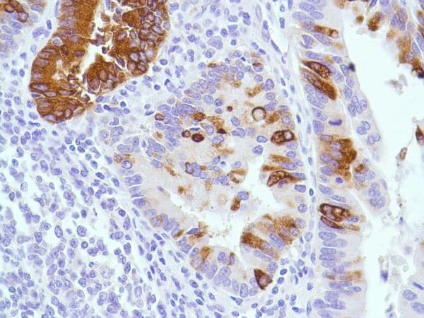 Immunohistochemistry (Formalin/PFA-fixed paraffin-embedded sections) - Anti-MUC2 antibody [SPM512] (ab231427)