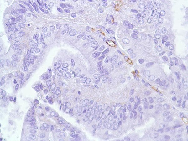 Immunohistochemistry (Formalin/PFA-fixed paraffin-embedded sections) - Anti-CD31 antibody [SP38] (ab231436)