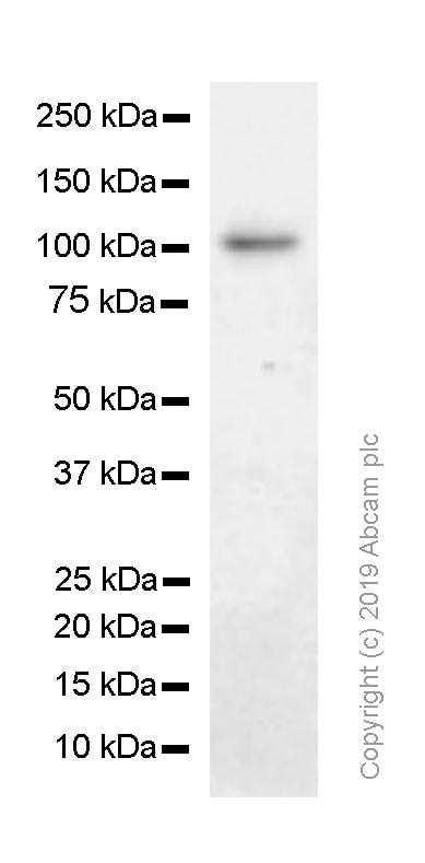 Western blot - Anti-MSH2 antibody [SP46] (ab231437)