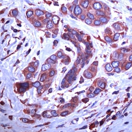 Immunohistochemistry (Formalin/PFA-fixed paraffin-embedded sections) - Anti-GRP94 antibody - C-terminal (ab231456)