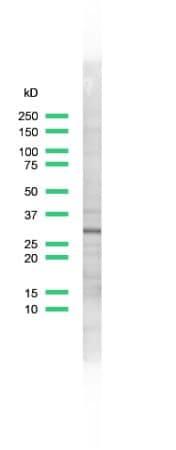 Western blot - Anti-CDK1 antibody - C-terminal (ab231499)