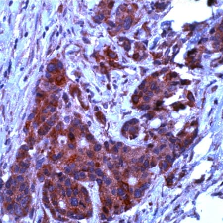 Immunohistochemistry (Formalin/PFA-fixed paraffin-embedded sections) - Anti-Bcl-XL antibody - N-terminal (ab231500)