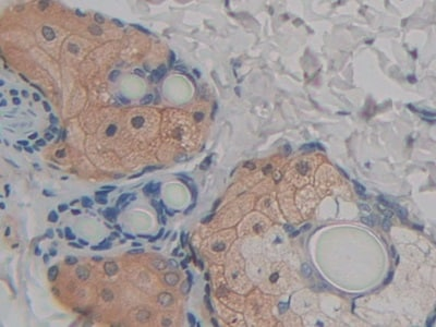 Immunohistochemistry (Formalin/PFA-fixed paraffin-embedded sections) - Anti-FABP9 antibody (ab231531)