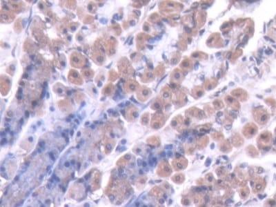Immunohistochemistry (Formalin/PFA-fixed paraffin-embedded sections) - Anti-pro Caspase-7 antibody (ab231532)