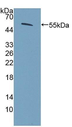 Western blot - Anti-COQ6 antibody (ab231533)