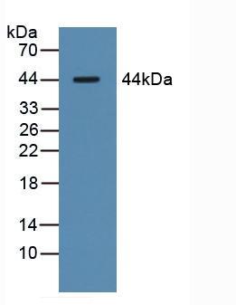 Western blot - Anti-Asialoglycoprotein Receptor 1/HL-1 antibody (ab231548)