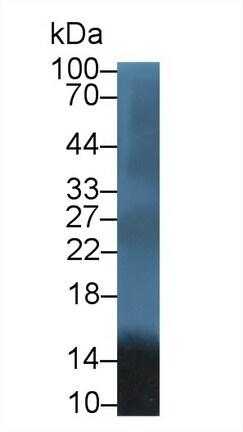 Western blot - Anti-Apolipoprotein A II/ApoA-II antibody (ab231550)