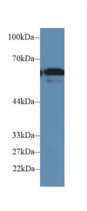 Western blot - Anti-FUT4 antibody (ab231561)