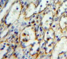 Immunohistochemistry (Formalin/PFA-fixed paraffin-embedded sections) - Anti-ICAM2 antibody (ab231564)