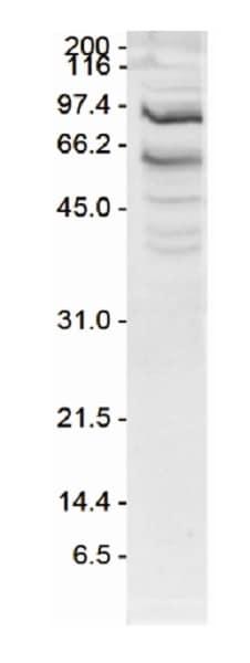 Western blot - Anti-SSRP1 antibody - N-terminal (ab231596)