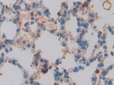 Immunohistochemistry (Formalin/PFA-fixed paraffin-embedded sections) - Anti-C10 antibody (ab231609)