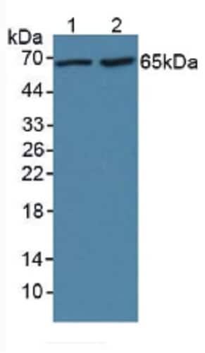 Western blot - Anti-LBP antibody (ab231612)