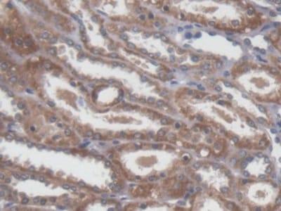 Immunohistochemistry (Formalin/PFA-fixed paraffin-embedded sections) - Anti-NME5 antibody (ab231631)