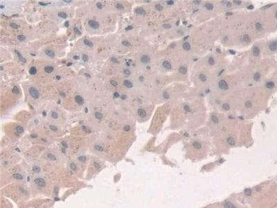 Immunohistochemistry (Formalin/PFA-fixed paraffin-embedded sections) - Anti-Grancalcin antibody (ab231632)