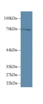 Western blot - Anti-Hsp70 antibody (ab231637)