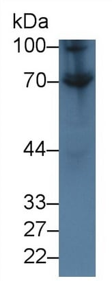 Western blot - Anti-CD73 antibody (ab231643)