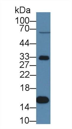 Western blot - Anti-Prealbumin antibody (ab231657)