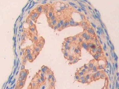 Immunohistochemistry (Formalin/PFA-fixed paraffin-embedded sections) - Anti-Carbonic Anhydrase 5B/CA5B antibody (ab231663)