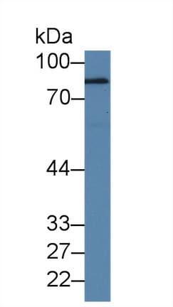 Western blot - Anti-Polymeric immunoglobulin receptor/PIGR antibody (ab231675)