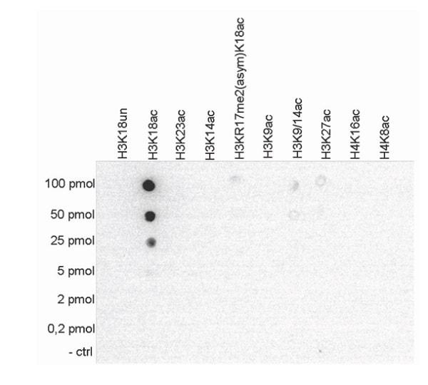 Dot Blot - Anti-Histone H3 (acetyl K18) antibody (ab231677)