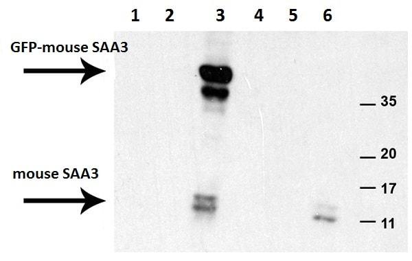 Western blot - Anti-SAA3 antibody [JOR110A] (ab231680)