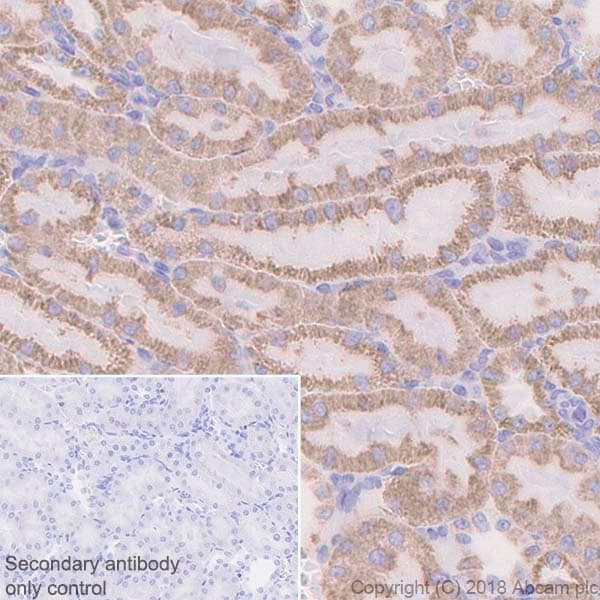 Immunohistochemistry (Formalin/PFA-fixed paraffin-embedded sections) - Anti-ATP5A antibody [EPR13030(B)] - BSA and Azide free (ab231692)