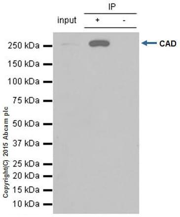 Immunoprecipitation - Anti-CAD/BM1 antibody [EP710Y] - BSA and Azide free (ab231694)