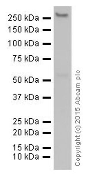 Western blot - Anti-CAD/BM1 antibody [EP710Y] - BSA and Azide free (ab231694)