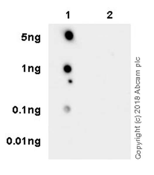 Dot Blot - Anti-RAB8A (phospho T72) antibody [MJF-R20] - BSA and Azide free (ab231706)