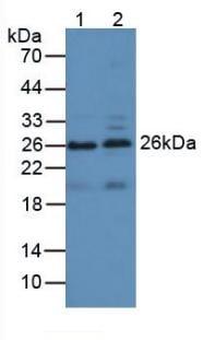 Western blot - Anti-Apolipoprotein A I antibody (ab231718)