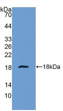 Western blot - Anti-Galectin 1 antibody (ab231733)
