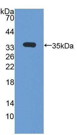 Western blot - Anti-Osteopontin antibody (ab231736)