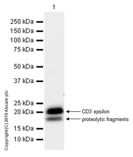 Western blot - Anti-CD3 epsilon antibody [EPR22667-12] (ab231775)