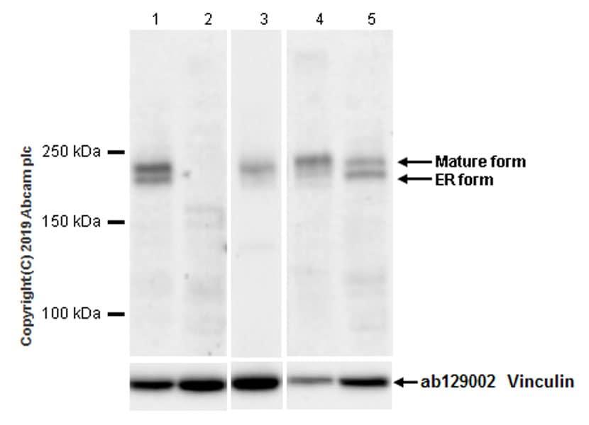 Western blot - Anti-LRP6 antibody [EPR22910-39] (ab231779)
