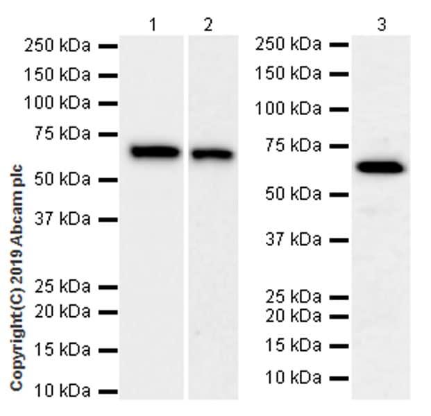 Western blot - Anti-RPE65 antibody [EPR22579-44] (ab231782)
