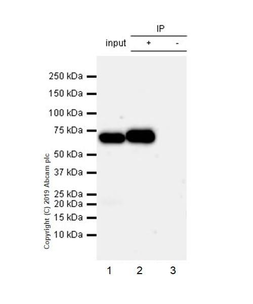 Immunoprecipitation - Anti-RPE65 antibody [EPR22579-44] (ab231782)