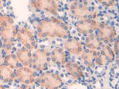 Immunohistochemistry (Formalin/PFA-fixed paraffin-embedded sections) - Anti-ATF7 antibody (ab231786)