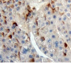 Immunohistochemistry (Formalin/PFA-fixed paraffin-embedded sections) - Anti-CD300 antibody (ab231791)