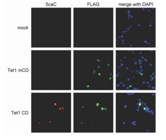 Immunocytochemistry/ Immunofluorescence - Anti-5-carboxylcytosine (5-caC) antibody (ab231801)