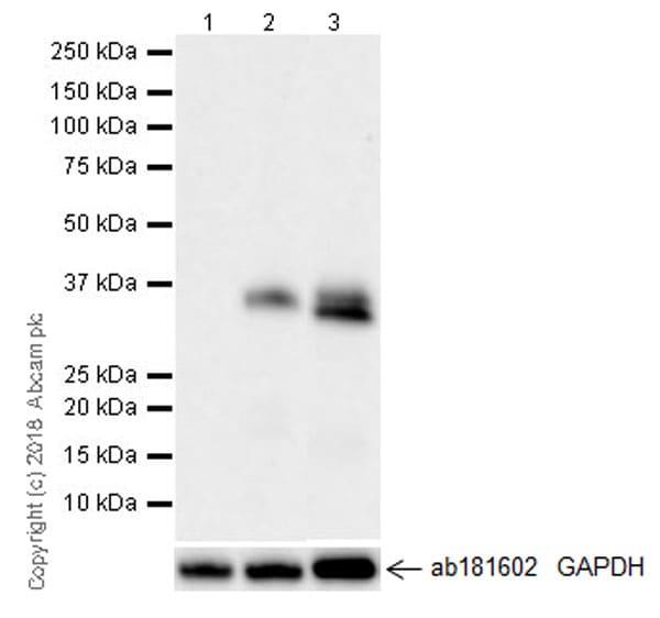 Western blot - Anti-CTGF antibody [EPR20728] - BSA and Azide free (ab231824)