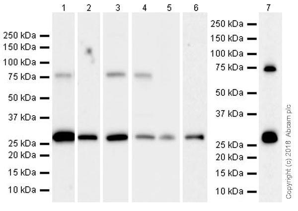 Western blot - Anti-PLBD2 antibody [EPR21742] - BSA and Azide free (ab231825)