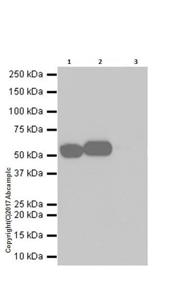 Immunoprecipitation - Anti-Glucose 6 Phosphate Dehydrogenase antibody [EPR20668] - BSA and Azide free (ab231828)