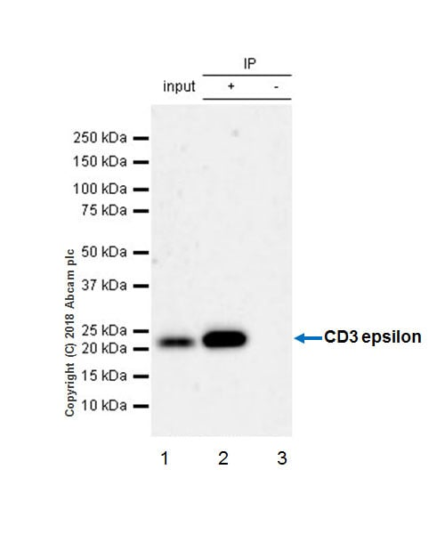 Immunoprecipitation - Anti-CD3 epsilon antibody [EPR20752] - BSA and Azide free (ab231830)