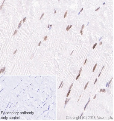 Immunohistochemistry (Formalin/PFA-fixed paraffin-embedded sections) - Anti-MEF2C antibody [EPR19089-202] - BSA and Azide free (ab231859)