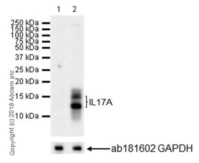 Western blot - Anti-IL-17A antibody [EPR21776] - BSA and Azide free (ab231891)