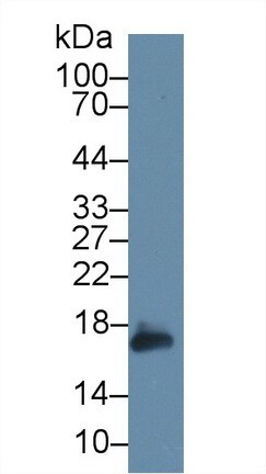 Western blot - Anti-Peroxiredoxin 5 antibody (ab231892)
