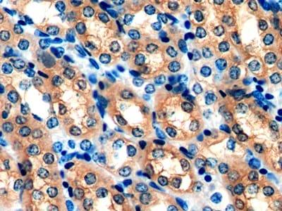 Immunohistochemistry (Formalin/PFA-fixed paraffin-embedded sections) - Anti-Peroxiredoxin 5 antibody (ab231892)