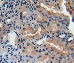 Immunohistochemistry (Formalin/PFA-fixed paraffin-embedded sections) - Anti-AGMAT antibody (ab231894)