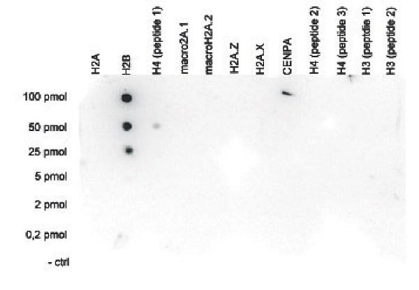 Dot Blot - Anti-Histone H2B antibody - C-terminal (ab231899)