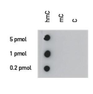 Dot Blot - Anti-5-hydroxymethylcytosine (5-hmC) antibody (ab231902)